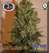 Big Buddha Blue Cheese Automatic Feminised skunk seeds